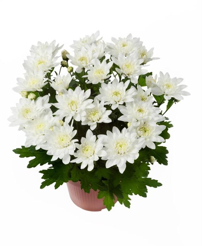 Цветы хризантемы в горшках уход
